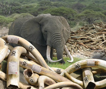 "Imagem de capa do ""Japan Report Ivory"" publicado pela Environmental Investigation Agency (EIA)"