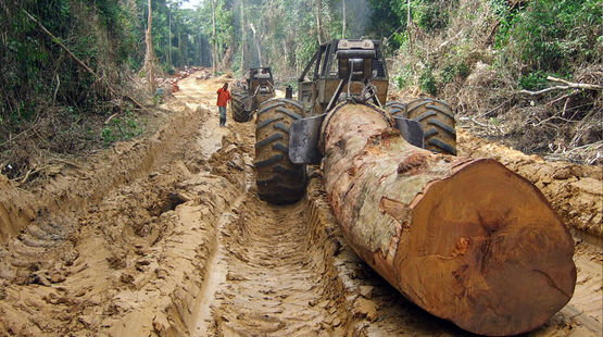 Máquinas pesadas transportam as árvores abatidas da floresta tropical